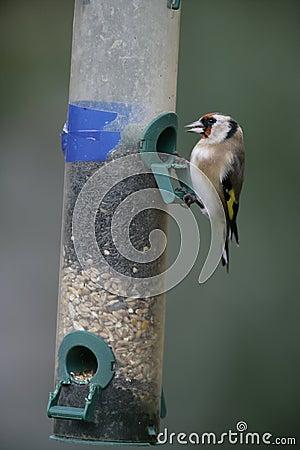 Goldfinch,Carduelis carduelis
