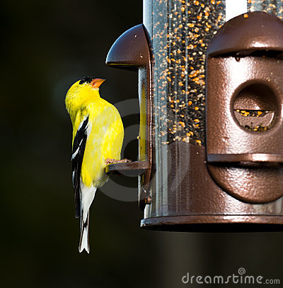 Free Goldfinch Eating From Bird Feeder Stock Images - 19197834