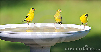 Goldfinch-Familien-Trinkwasser an einem Vogel-Bad