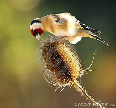 Free Goldfinch On Teasel Stock Image - 22602391