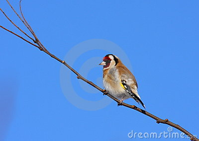 Goldfinch resting