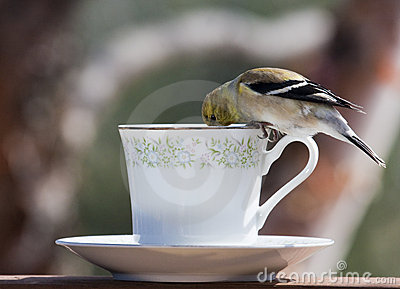 Goldfinch At Tea Time