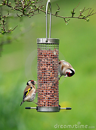 Free Goldfinches Feeding Royalty Free Stock Image - 505566