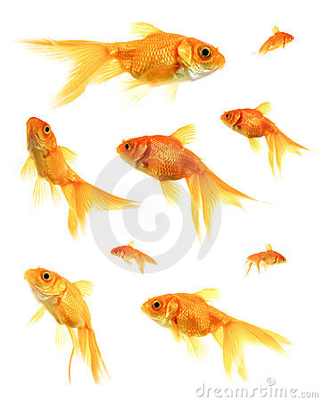 Free Goldfish Royalty Free Stock Photography - 217787