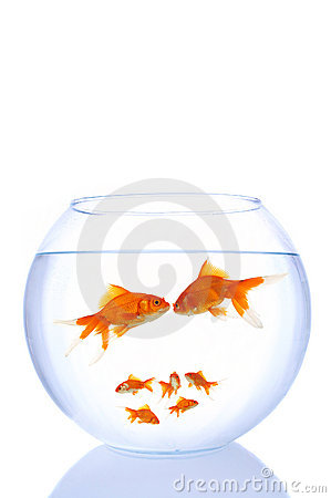 goldfish tank size. Mini goldfish family on white