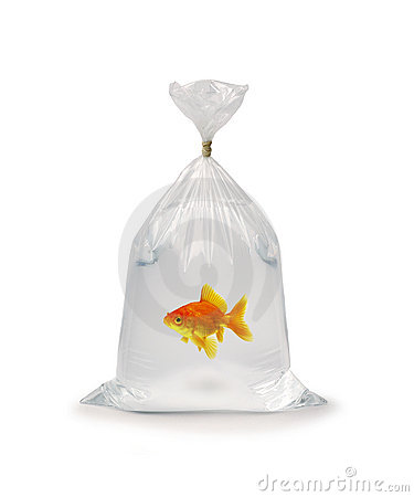 Free Goldfish In Plastic Bag Stock Photo - 3202860