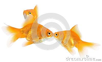 Goldfish kiss