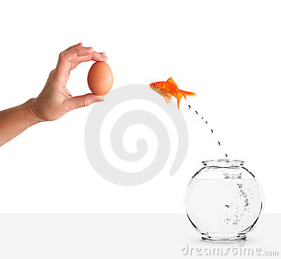 Goldfish leaping towards hand with egg bait