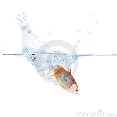 Goldfish plunging into the water