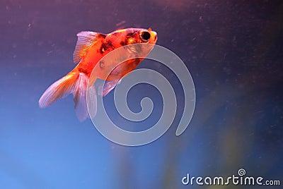 Goldfish portrait