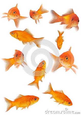 Free Goldfishes Royalty Free Stock Photos - 962418