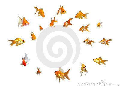 Goldfishes Set - Announcement! Paying Attention!