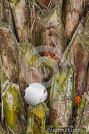 Golf ball stuck on palm tree