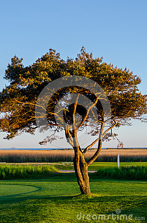 Tree in sunset golf course