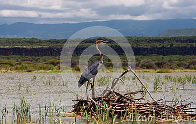 Goliath Crane, Lake Baringo