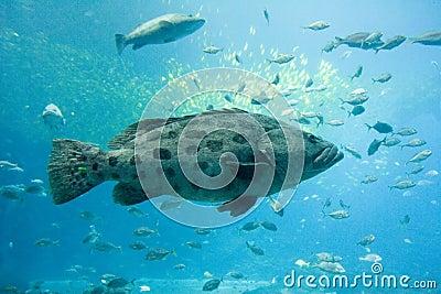 pacific goliath grouper  Goliath grouper Stock Image