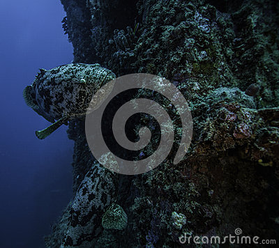 Goliath grouper on the Spiegel Grove in Key Largo
