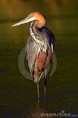 Free Goliath Heron Royalty Free Stock Images - 977109