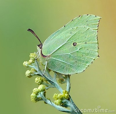 Free Gonepteryx Rhamni Stock Photography - 10229462