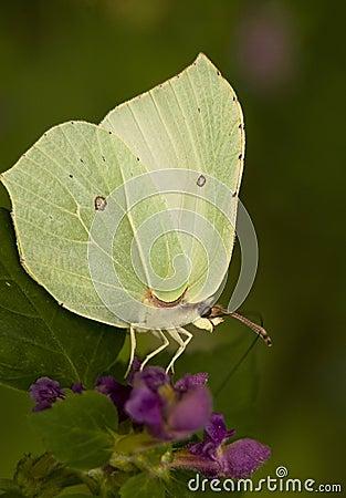 Free Gonepteryx Rhamni Royalty Free Stock Image - 17041866