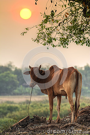 Free Good Evening Cow! Royalty Free Stock Photo - 54443625