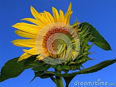 Good morning! (opening sunflower)