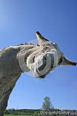 Free Goofy Donkey Stock Images - 1629674