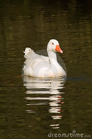 Free Goose Stock Photo - 13249250