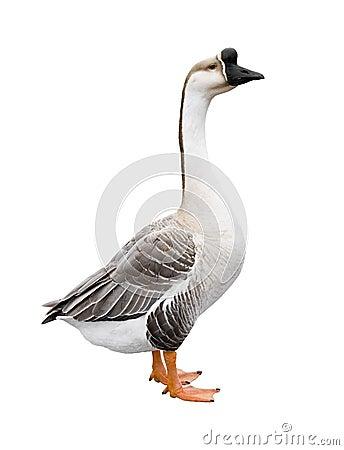 Free Goose Royalty Free Stock Image - 4968516
