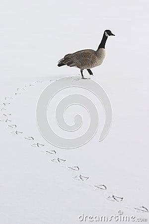 Free Goose And Footprints Stock Photos - 1634943