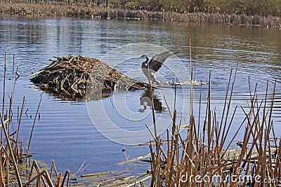 Goose approaching muskrat lodge