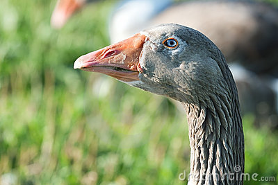 Goose with a blue eye