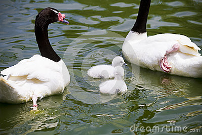 Goose breeding with her parents in a river