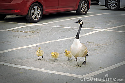 Goose brood on parking lot