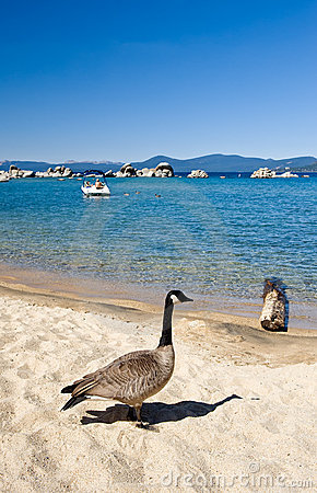 Free Goose By Shore Of Lake Tahoe Stock Photo - 6834180