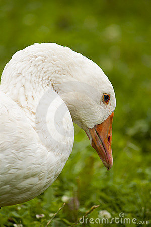 Free Goose Closeup Royalty Free Stock Photos - 20627318