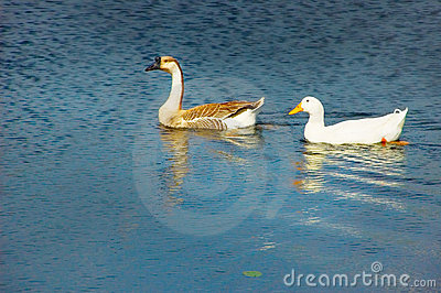 Goose and duck on pond