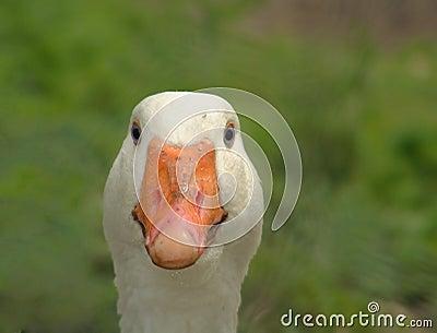 Goose Face Close Up