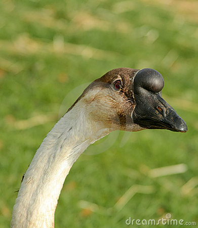 Goose with Funny Beak
