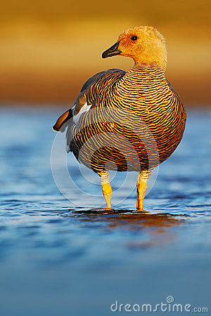 Free Goose In The Water, Chloephaga Hybrida, Kelp Goose, Is A Member Of The Duck, Goose. It Can Be Found In The Southern Part Of South Royalty Free Stock Photo - 75945605