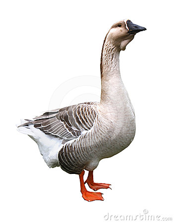 Free Goose (isolated) Royalty Free Stock Photography - 24421397