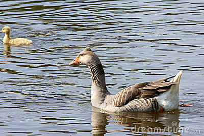 Goose on a lake