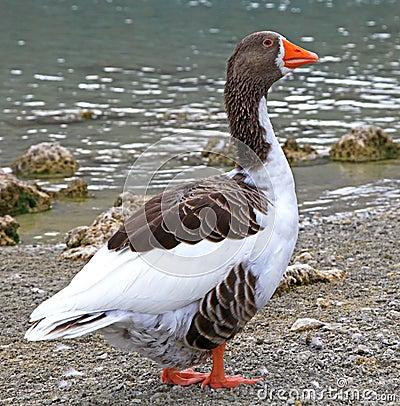 Goose at lake Kournas at island Crete