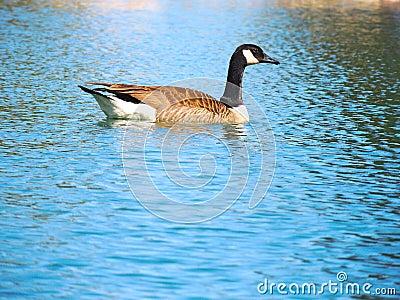 Goose on Pond