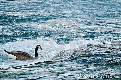 Goose in rapids