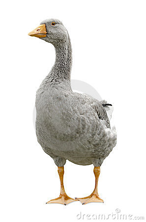 Free Goose Standing Royalty Free Stock Photography - 23616307
