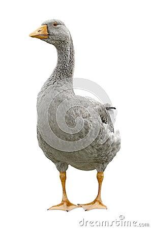 Goose standing