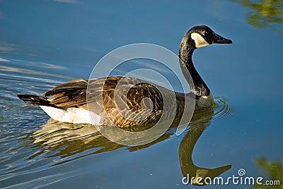Goose swimming on pond