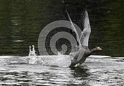 Goose on take off