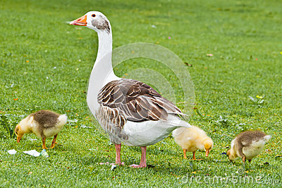 A goose and three chicks
